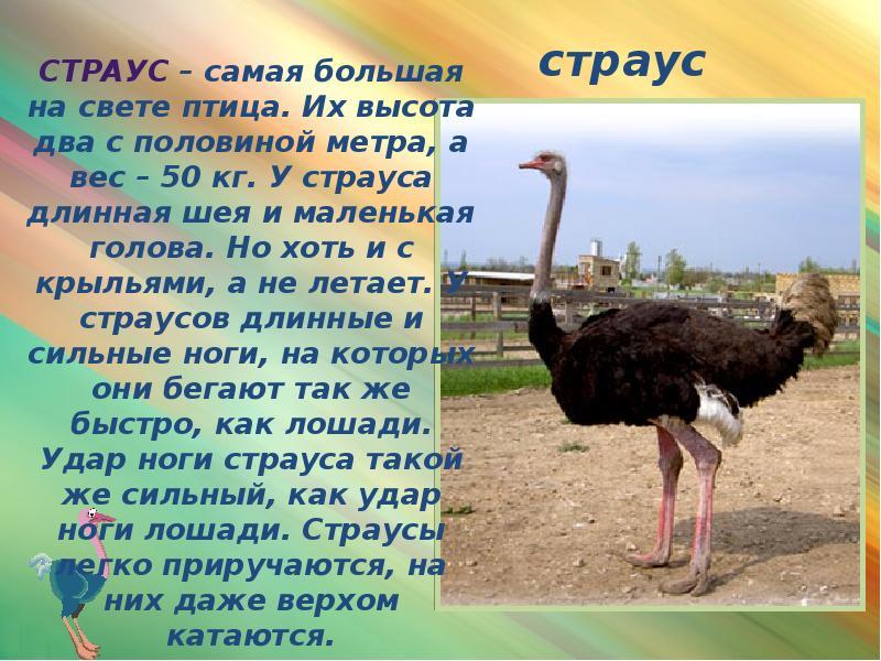 10 чудных и впечатляющих фактов о страусах