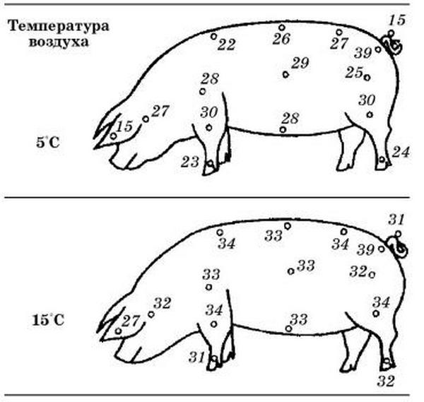 ✅ все о роже свиней: симптомы заболевания, лечение в домашних условиях - tehnomir32.ru
