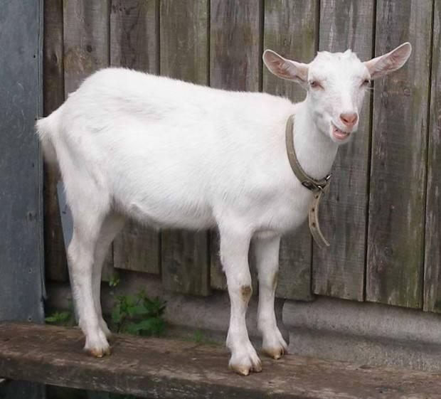 Сколько живут козы? срок жизни в домашних условиях? как его продлить?
