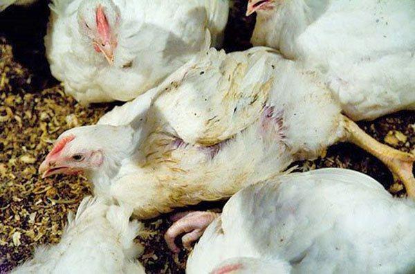 Кокцидиоз у цыплят, как распознать и чем вылечить