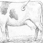 Тимпания рубца у крс, раздуло корову