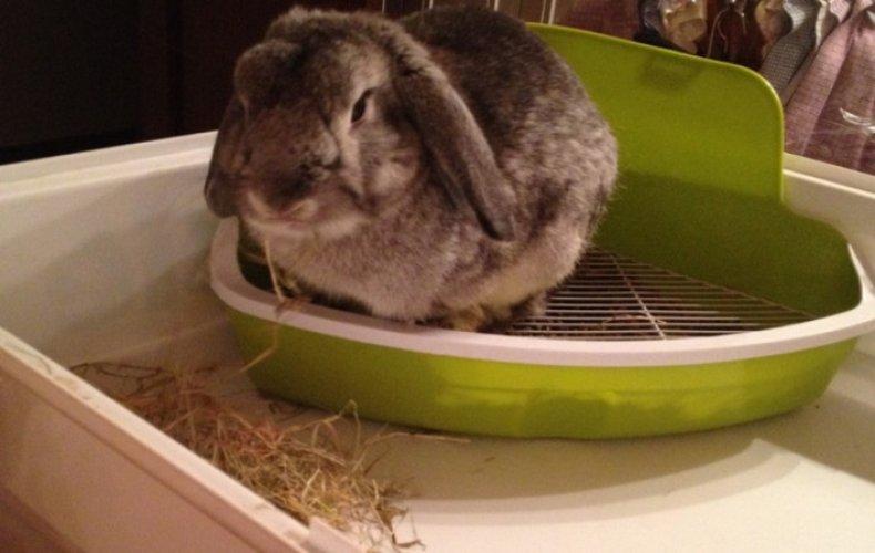 Как приучить кролика к лотку, нужен ли туалет для декоративного кролика
