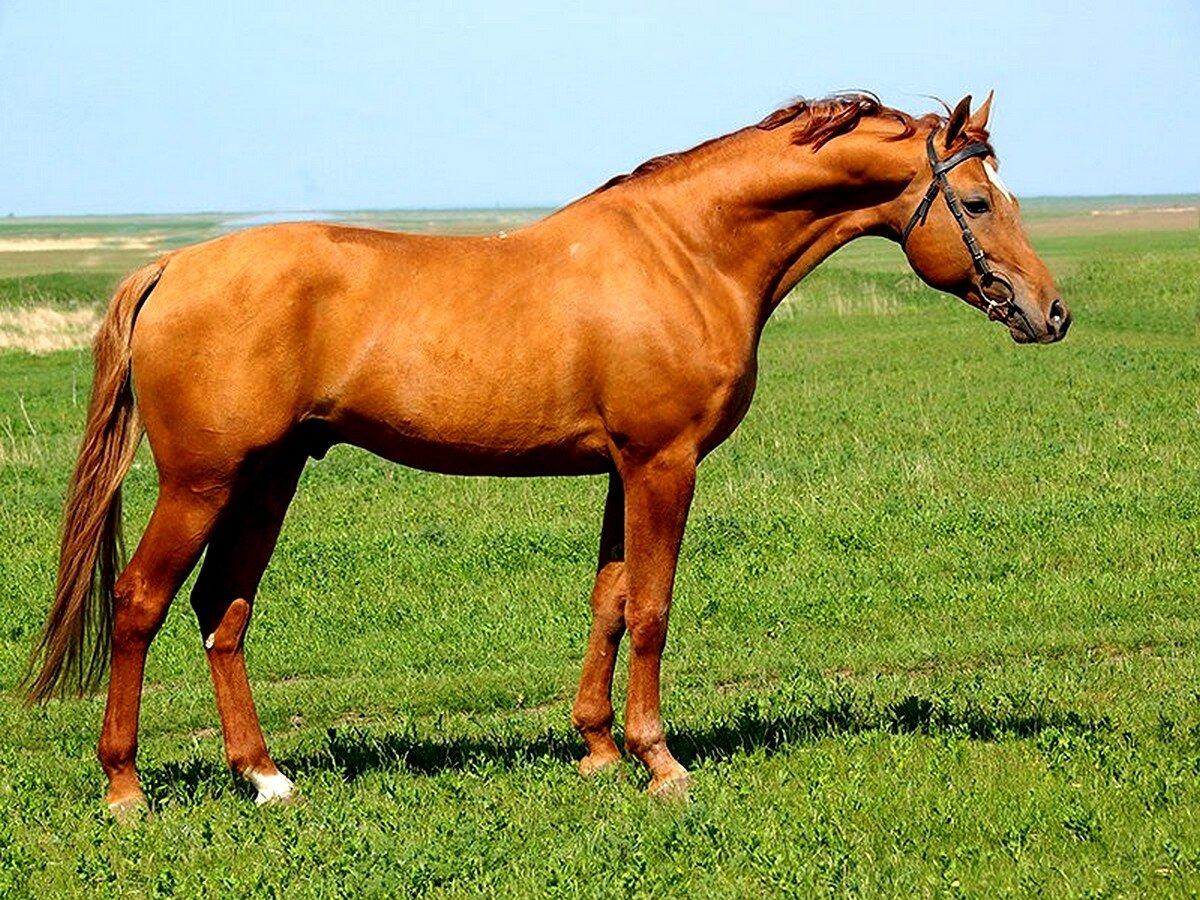 Донская порода лошадей: её характеристика и описание с фотографиями