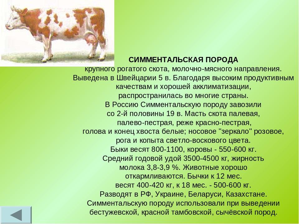 Симментальская порода коров - характеристика крс 2020
