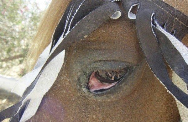 Глаза лошади: строение, цвет, способности, болезни