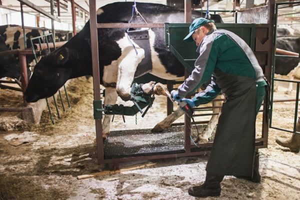 Воспаление скакательного сустава у коров