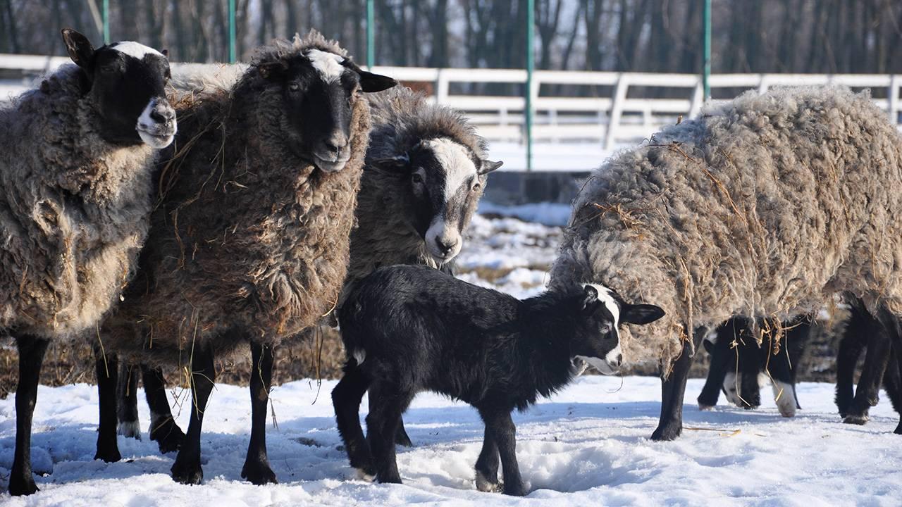 Романовская порода овец: характеристика, содержание, цена, фото