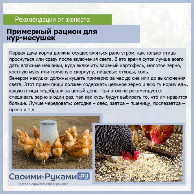 Особенности кормления кур несушек – чем кормить чтобы лучше неслись - куры - животноводство - каталог статей