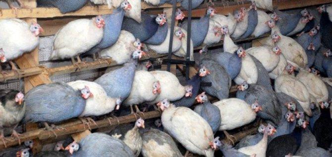 Сколько яиц несёт цесарка: количество дней в домашних условиях