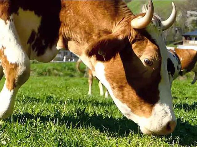 Почему корова не жует жвачку что делать народные средства - медицинская профилактика