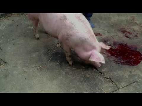 Как правильно забить свинью в домашних условиях