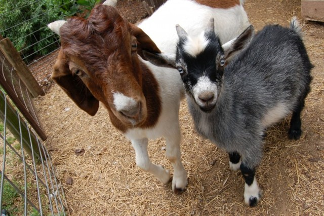 Болезни коз: симптомы и лечение в домашних условиях