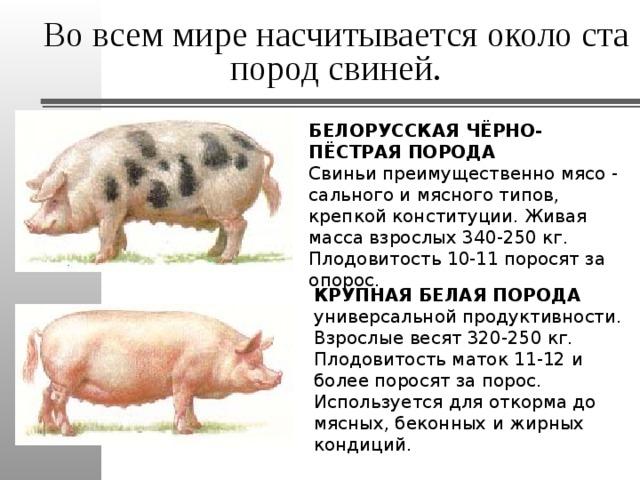 Все о роже свиней: симптомы заболевания, лечение в домашних условиях