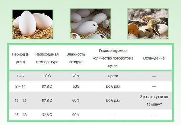 Все об яйценоскости и насиживании мускусных уток