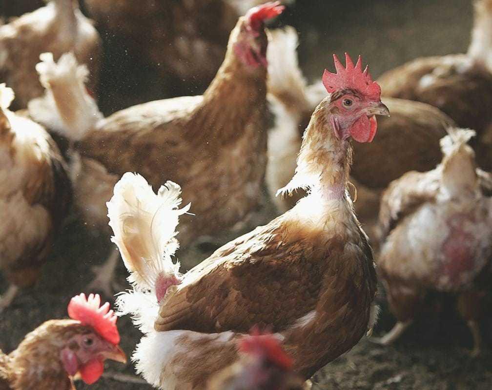 Линька весной у кур несушек: причины и рекомендации, фото и видео