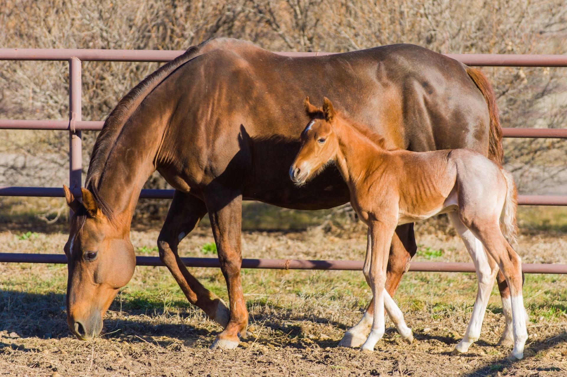 Разведение породистых коней и лошадей: скрещивание племенных особей и выращивание жеребят
