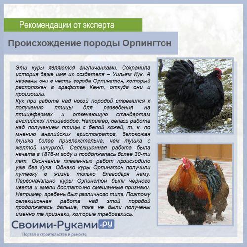 Карликовые породы кур: несушки с миролюбивым характером, крепким иммунитетом и хорошей продуктивностью. рейтинг самых популярных пород