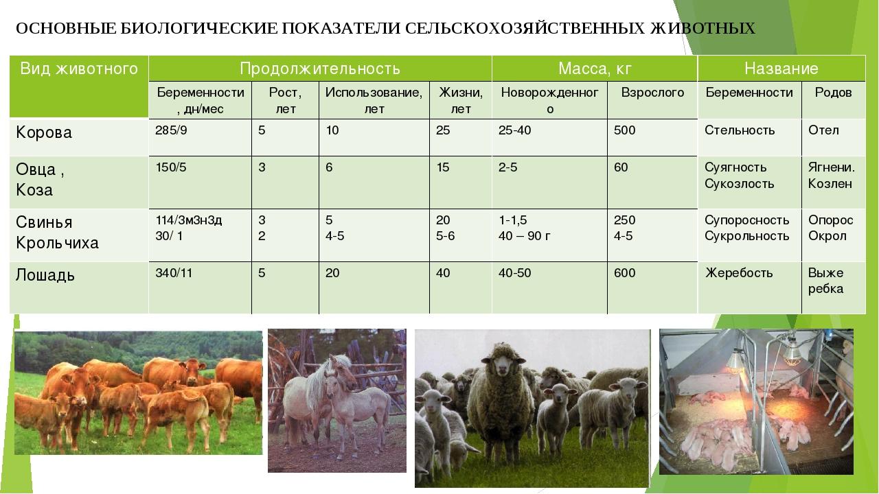 Биологические и хозяйственные особенности крупного рогатого скота: распишем по порядку