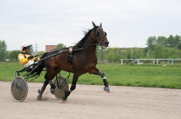 Рысистые породы лошадей: характеристика, описание