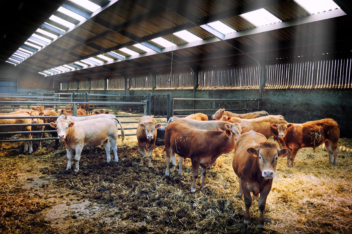 Содержание коровы в домашних условиях для начинающих