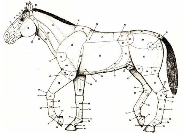 Стати лошади: описание, особенности и строение