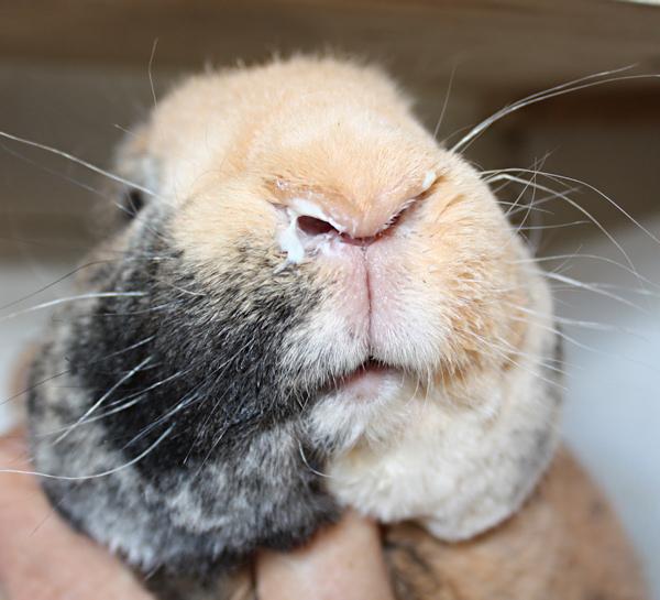 Почему кролики чихают: что делать, как и чем лечить насморк?