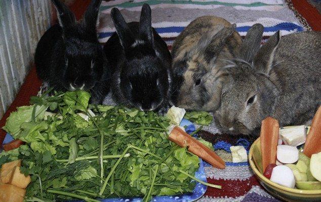 Можно ли кормить кроликов тыквой и кабачками