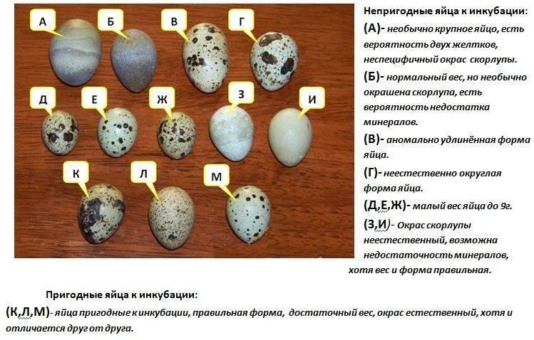 Режим инкубации куриных яиц: подробная инструкция, а также таблицы оптимальной температуры, влажности и других факторов по дням