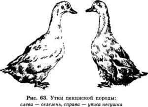 Как отличить самца от самки цесарки по полу: советы и видео как различить птиц