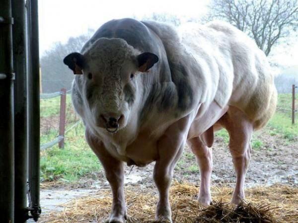 Голубая бельгийская порода коров: особенности развития телят, коров, быков