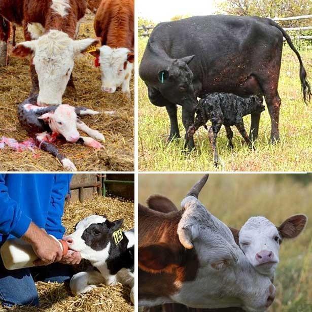 ✅ почему корова не покрывается что делать - питомник46.рф