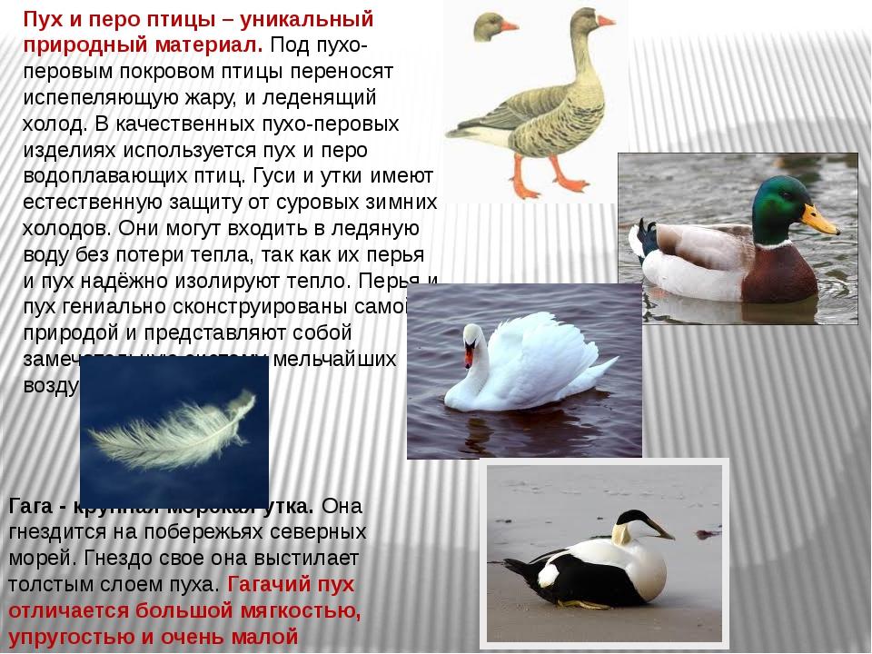 ✅ все о домашних утках: описание, поведение, характеристики, особенности - tehnomir32.ru