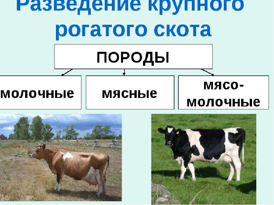 Крс (63 фото): какие животные называются крупным рогатым скотом? разведение. зачем на фермах животным дают стимуляторы роста?