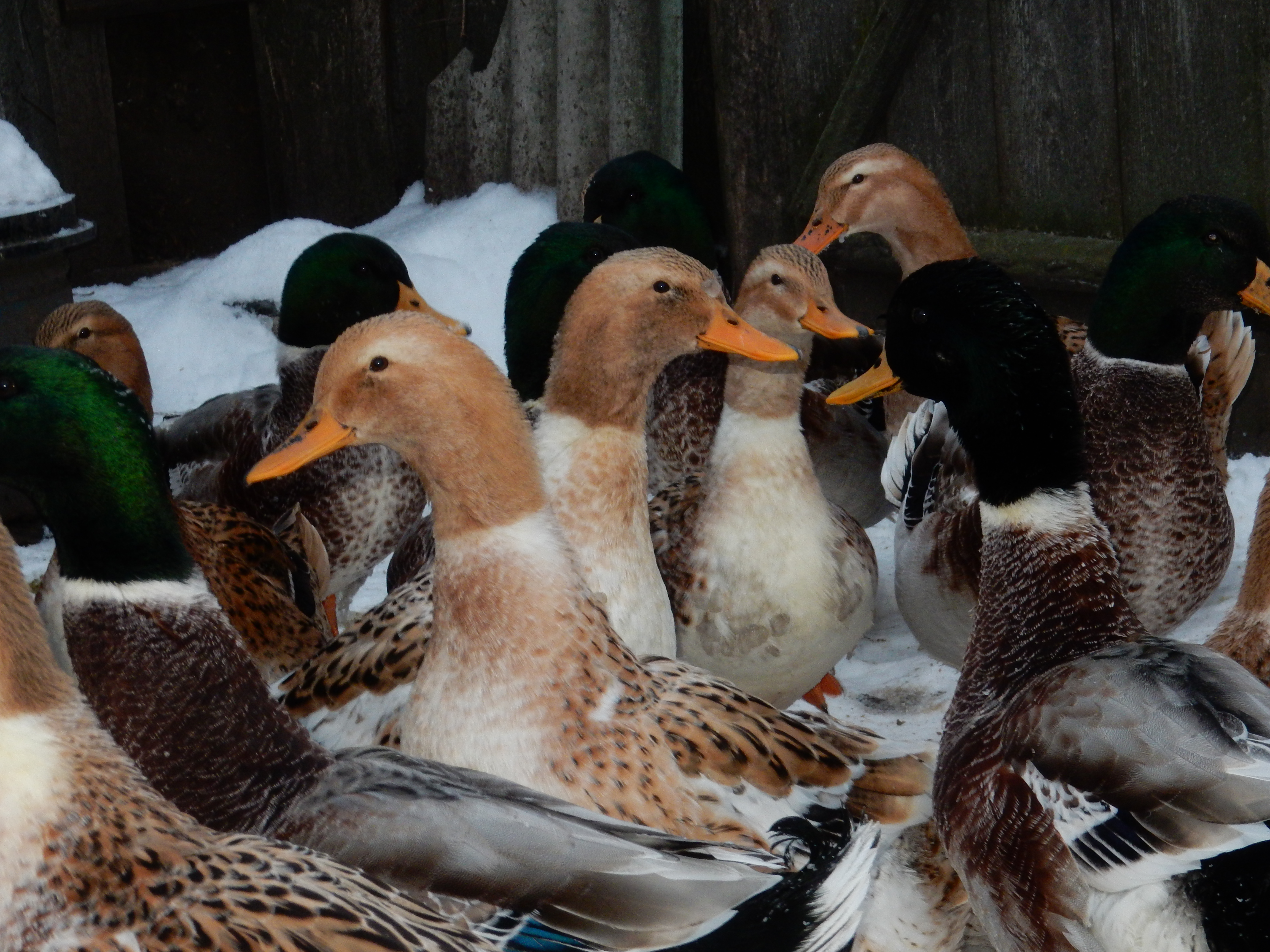Благоварская утка: описание, фото, яйценоскость, разведение, как ухаживать и чем кормить