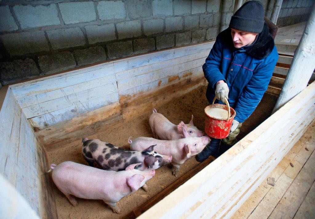 Выращивание и кормление свиней и поросят в домашних условиях: как и чем правильно кормить и сколько нужно корма