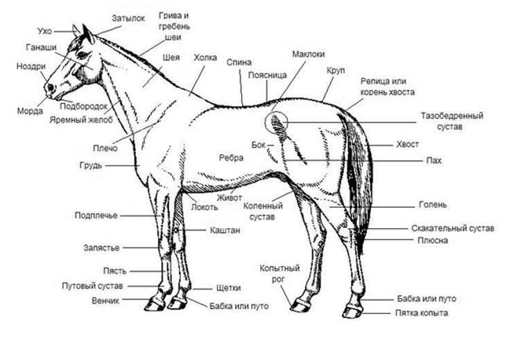 Стати лошади: описание, особенности и строение : labuda.blog стати лошади: описание, особенности и строение — «лабуда» информационно-развлекательный интернет журнал