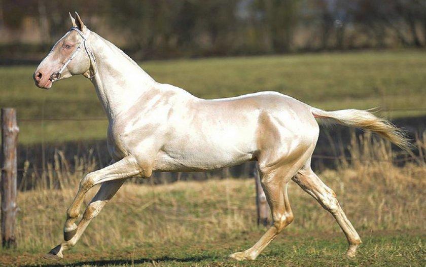 Ахалтекинская лошадь - описание мастей, уход, кормление