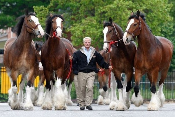 Шайр лошадь: достоинства и недостатки породы, содержание, уход