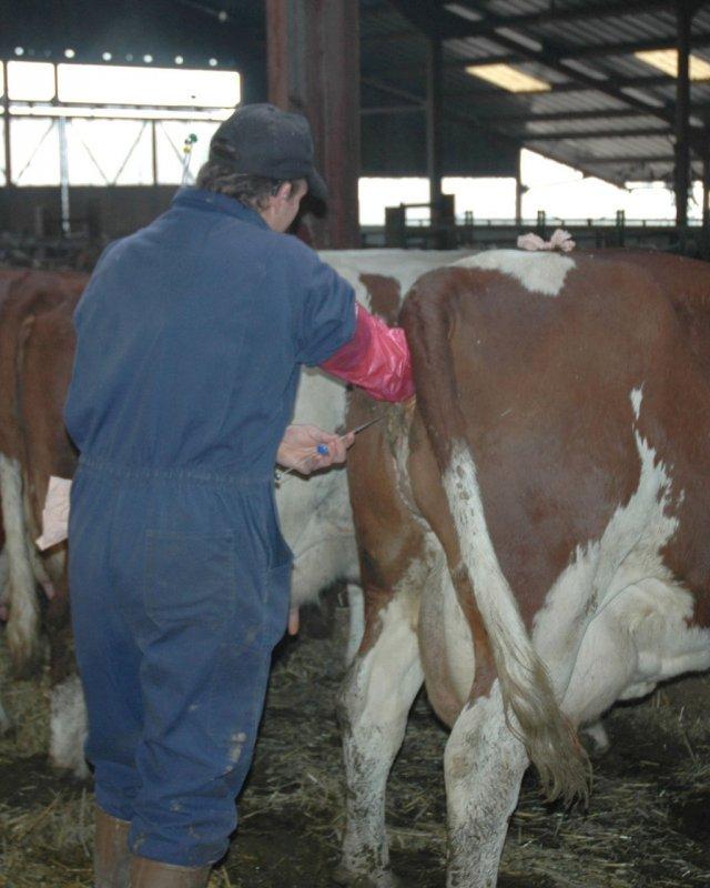 Искусственное осеменение коров – способы оплодотворения крс 2020