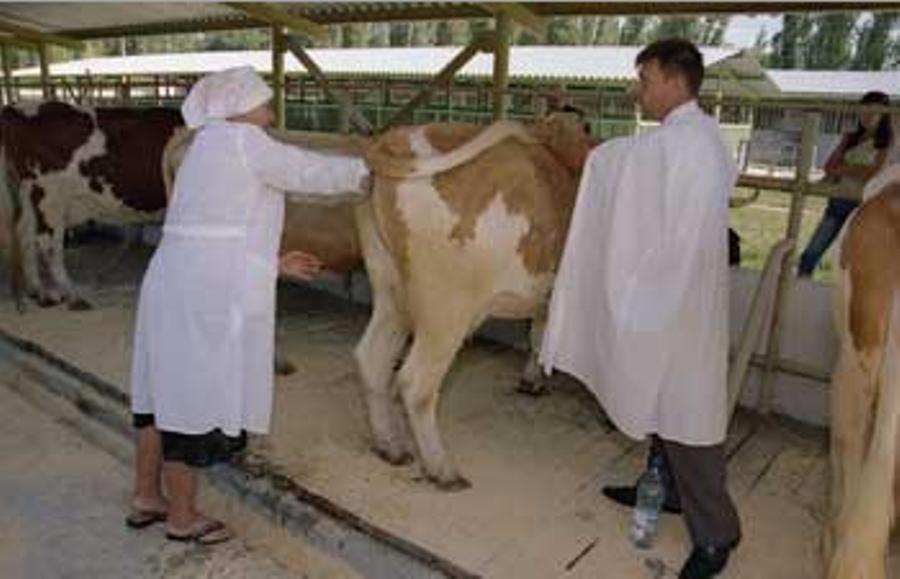 Способы осеменения коров: искусственное оплодотворение крс, бык осеменитель