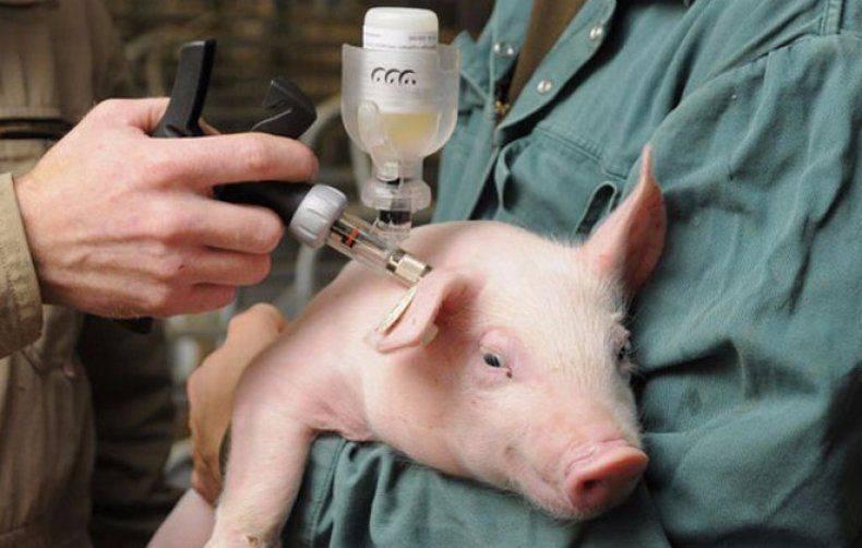 Какие вакцины нужны для поросят и беременных свиней