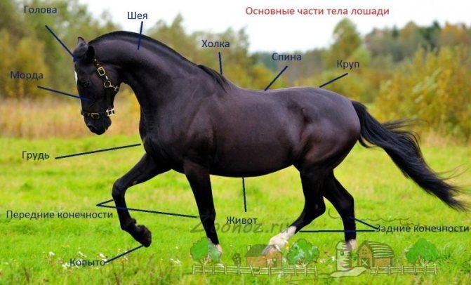 Анатомия лошади, ее строение, особенности