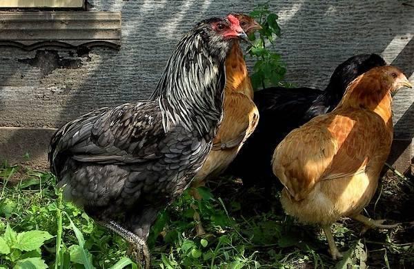 Араукана порода кур - описание, содержание, фото и видео