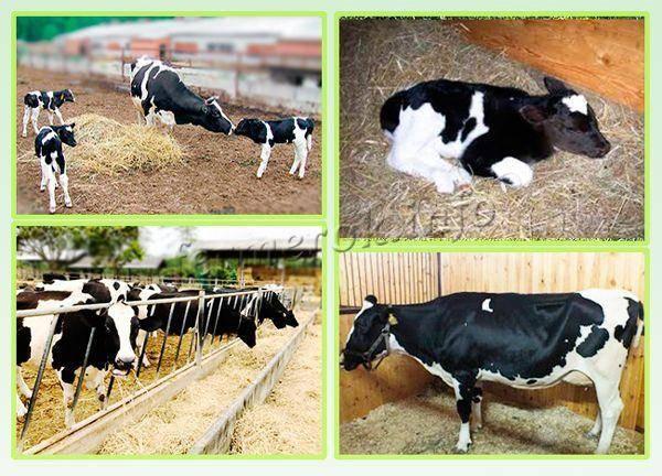 Черно-пестрая и красно-пестрая породы коров: описание и характеристики