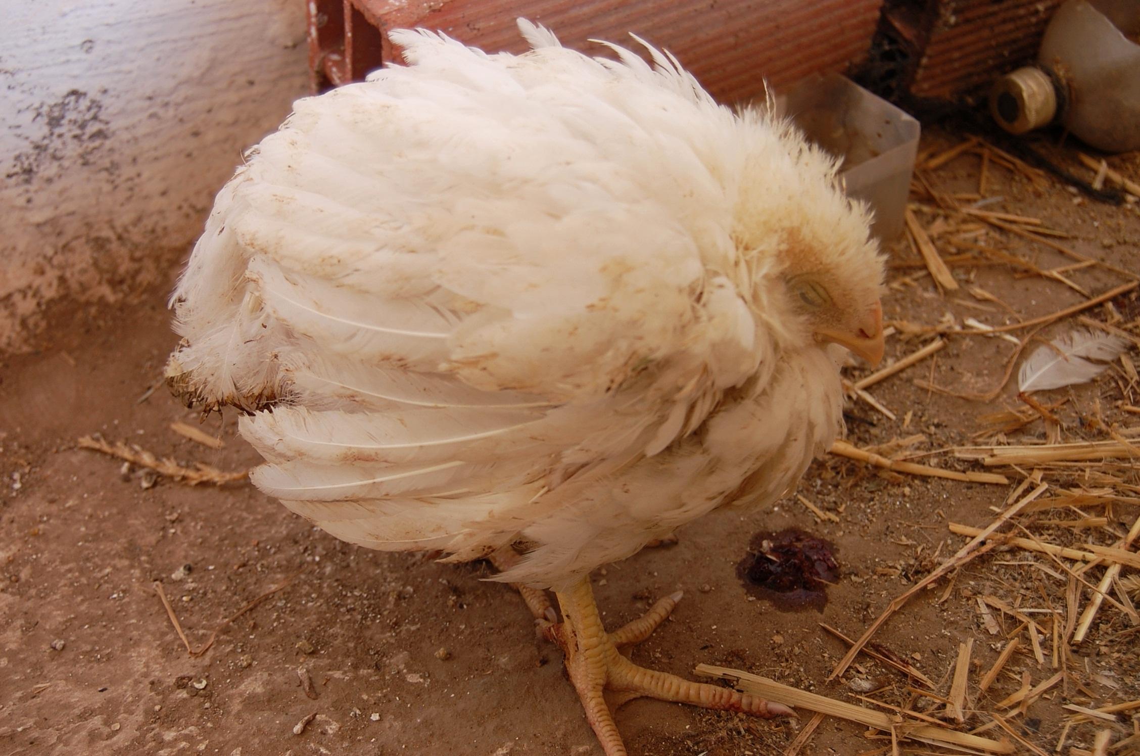 Водянка у курицы можно употреблять в пищу - дневник садовода