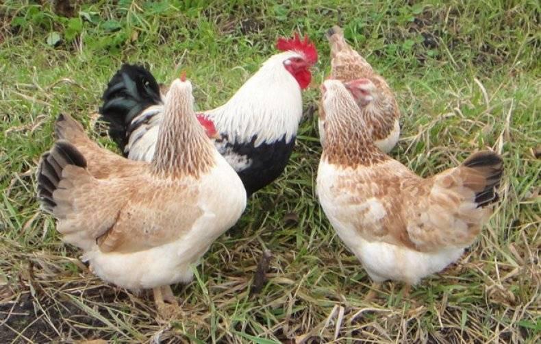 Загорская лососевая порода кур – описание, фото, отзывы