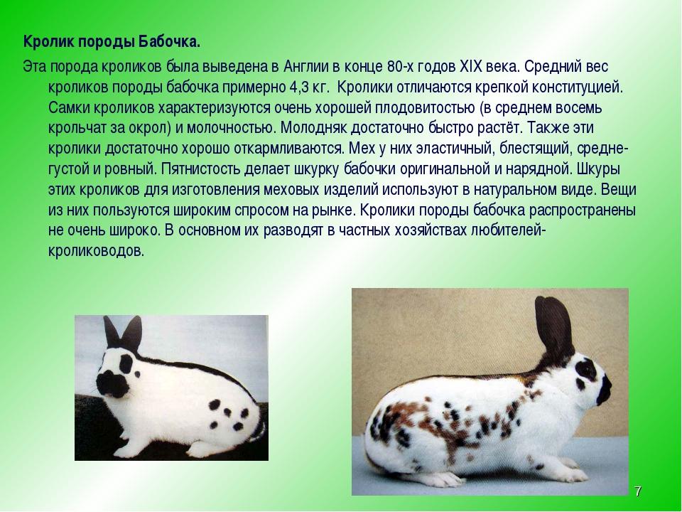 Кролик бабочка — описание породы, характеристика, особенности содержания и разведения