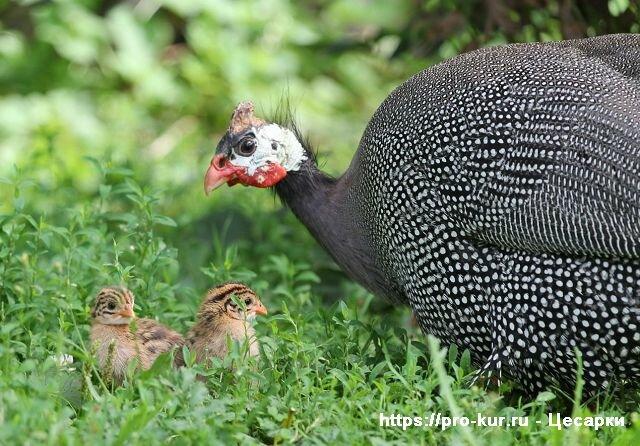 Бройлерная цесарка: виды пород, особенности содержания и разведения данных птиц