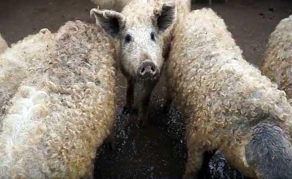 Порода свиней венгерская мангалица: содержание, разведение, уход
