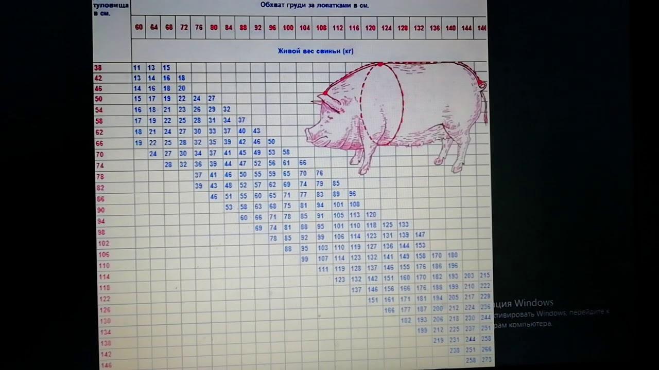 Сколько весит свинья: таблица измерения веса свиней